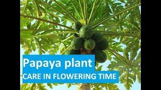 पपीते में फल और फूल गिरने पर क्या करें ? || Papaya Plants Caring in Flowering Time