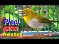 Pleci Gacor Nembak Variasi Ampuh Buat Pancingan Nalela Kicau  Mp3 - Mp4 Download