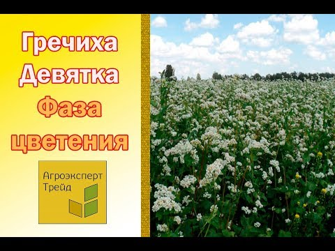 (096) 555-74-42 бесплатная доставка по украине. Консультация агрономов. В интернет-магазине яблуком вы можете купить семена гречихи девятка.