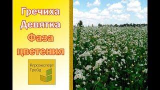 Семена гречихи.  Сорт Гречки Девятка.  Фаза цветения.