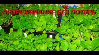 ДНЕВНИК ТАБАКОВОДА № 3 ( Прореживание без потерь коротко 31.03.16.) ТАБАК