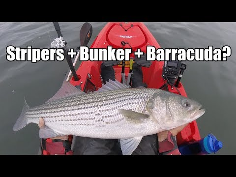"""The Striped Bass DESTROYED Bunker....& The """"Salted Barracuda""""  While Fishing Taste Test"""
