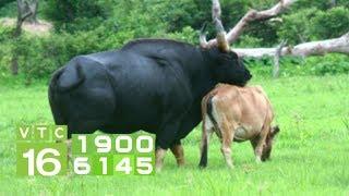 Thế giới động vật: Bò tót