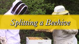 Splitting a Beehive