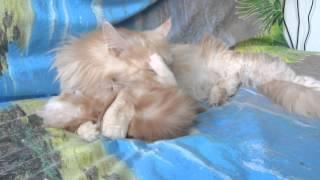 Cat bites kitten.Кошка кусает котенка.