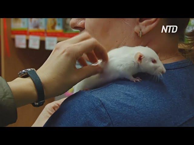 Белые крысы «разлетаются» с прилавков зоомагазинов в Нижнем Новгороде