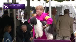 Tibetan Terriers   Breed Judging 2021