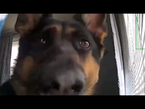Pet Corner - Security footage picks up hilarious footage of guard dog