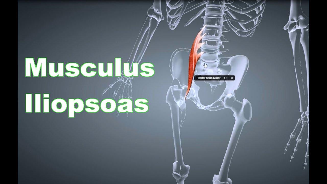 M. Iliopsoas Hüftbeuger: Ansatz, Ursprung, Funktion, Körperübung, B ...