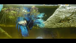 Breeding fitness: How to tell if your female betta is ready to spawn!