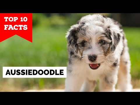 Aussiedoodle  Top 10 Facts