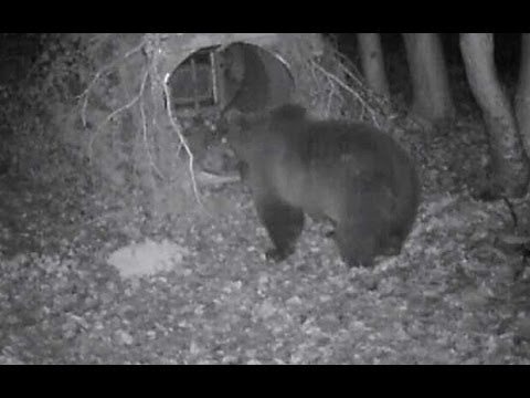 Brown bears ravage livestock in Italy