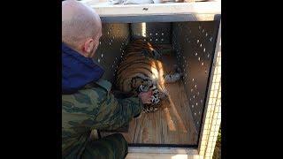 Amur tigress Kazachka was sent to a Siberian zoo