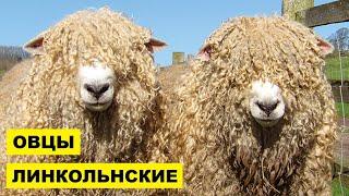 Разведение Линкольнской породы овец как бизнес идея | Овцеводство | Овцы Линкольнские