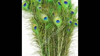 Natural Peacock Feathers From Lamplight Feather, Inc.