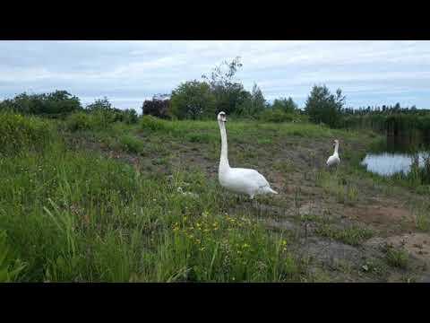 The mute swan / Labuť velká (Cygnus olor)
