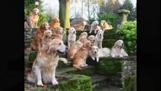Golden Justice For Golden Retriever Puppy Savannah