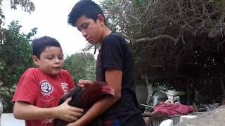 Como desparasitar un gallo
