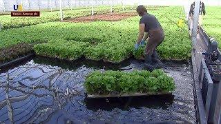 Выращивание салата в Украине