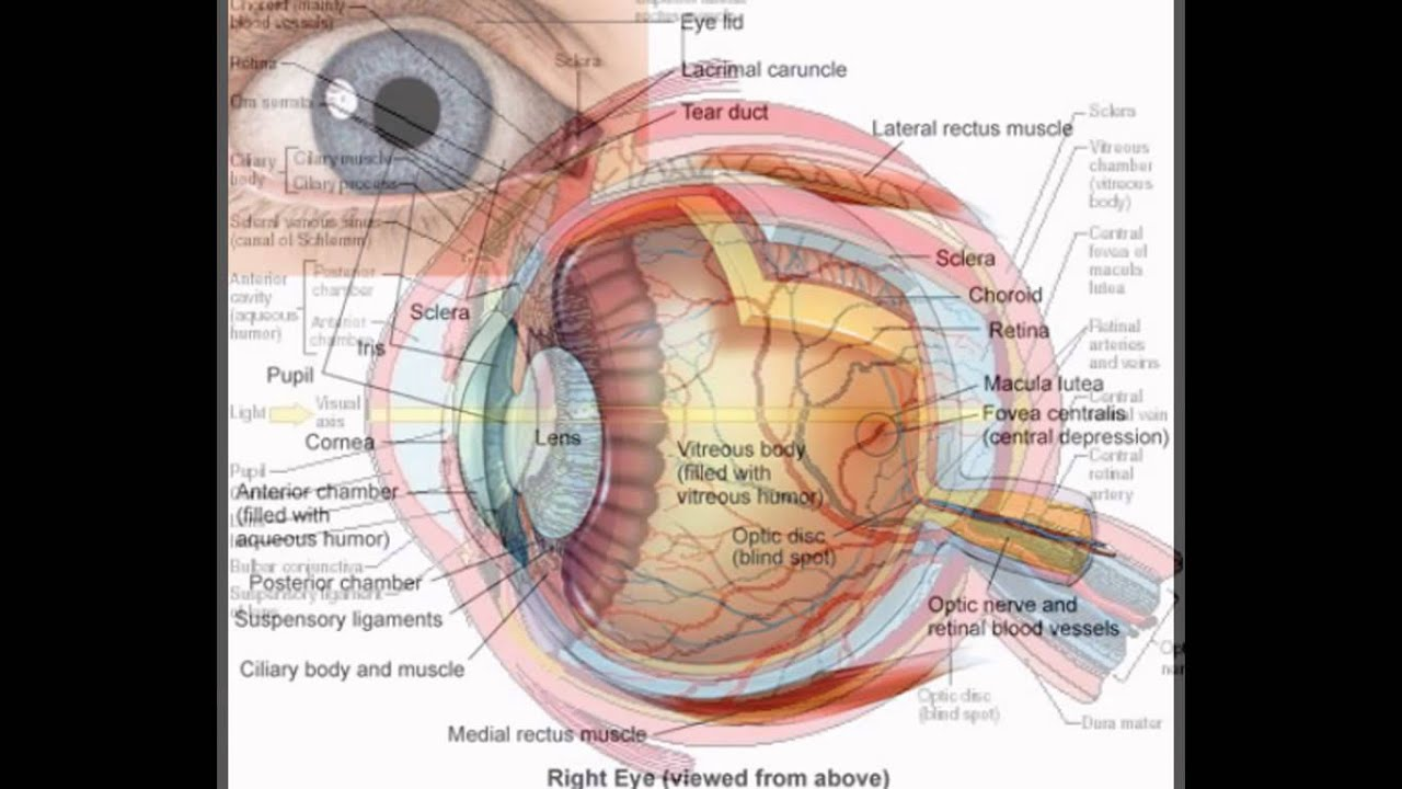 Awesome Human Anatomy Eyes Gallery - Anatomy and Physiology Tissue ...