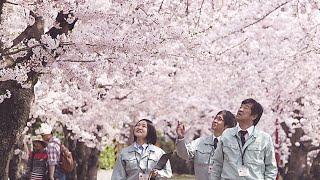 أطباء أشجار الكرز في هيروساكي