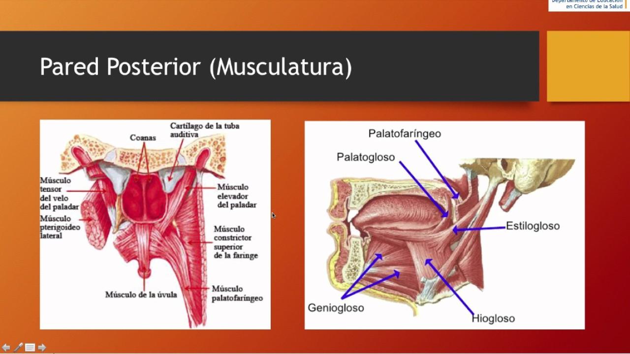 Cavidad Oral - Anatomía - YouTube