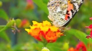 毛毛蟲變蝴蝶 Caterpillars to Butterflies