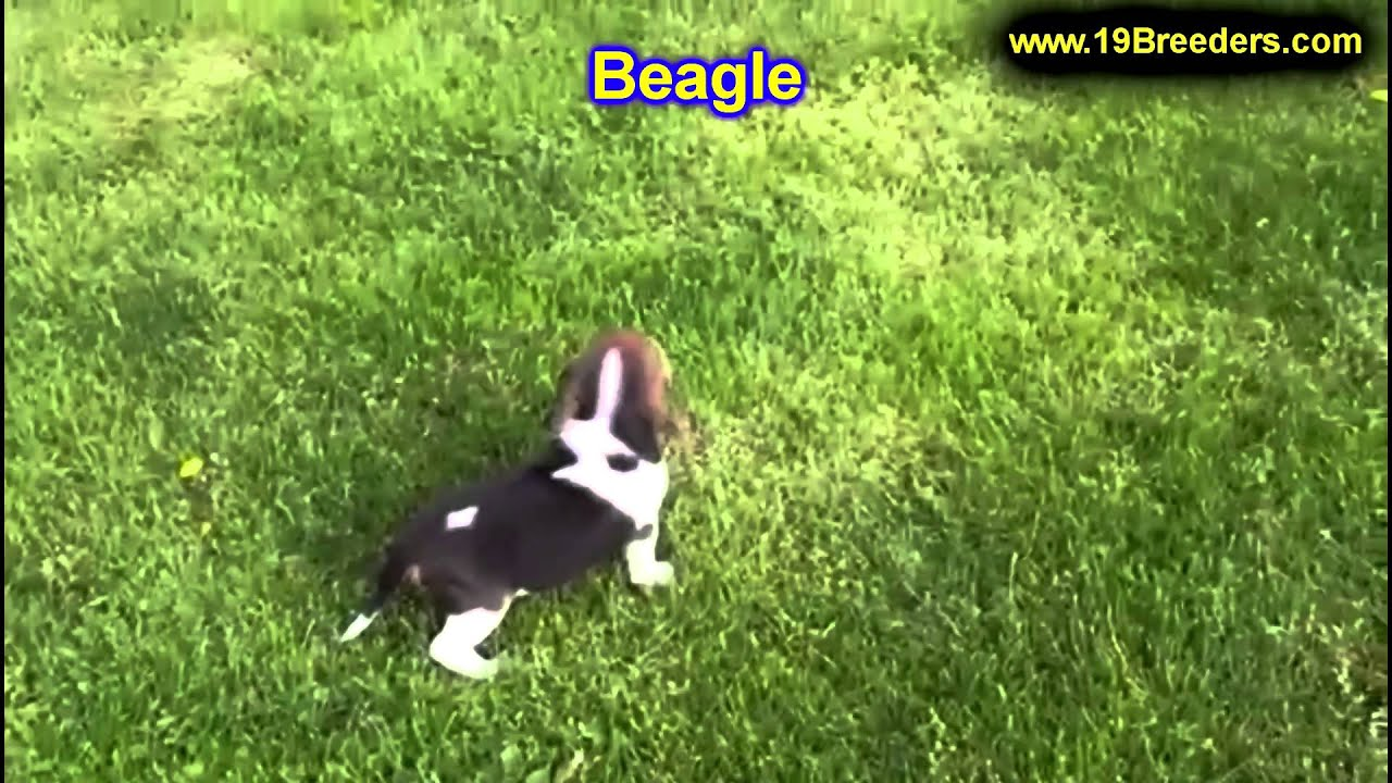 Beagle Puppies For Sale In Duluth Minnesota County Mn