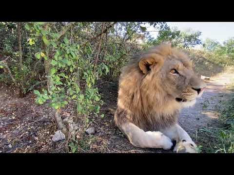 Львы Султан, Гирей и Руслан ОБЪЕЛИСЬ и не хотят идти на прогулку!
