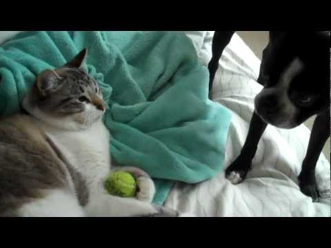 Cat dares Boston Terrier to get toy back..too funny!!