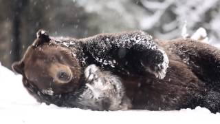 grizzly bear snow angels on seattle snow day