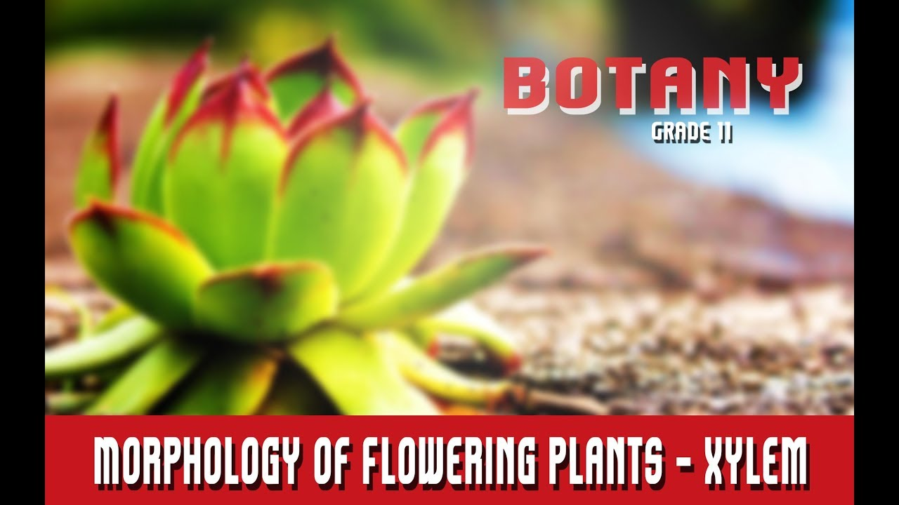 Botany Grade 11 Morphology Of Flowering Plants Anatomy Xylem