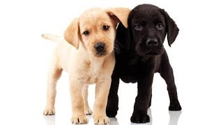 How to check if a Labrador is a pure breed ,the best documentary Ever