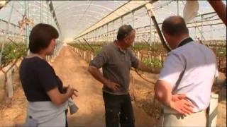 Виноград в теплице(Второй ролик из серии
