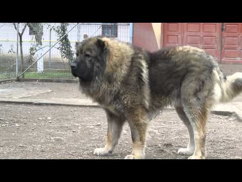 Titan, the largest Caucasian Shepherd and its puppies