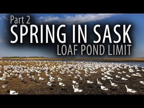 Spring In Sask | 100+ Birds | Snow Goose Hunting Canada | Part 2