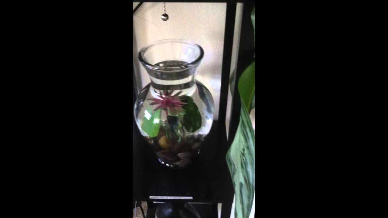 Aquatic Garden Vase Review Perfect As A Betta Tank Youtube