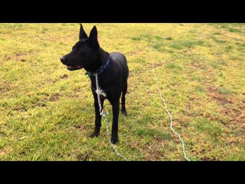 Nox - Australian Kelpie - 7.25months old - recall/fetch training