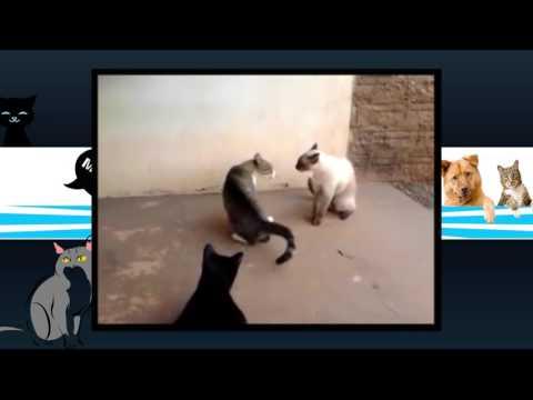 gatos brigando, cats fighting