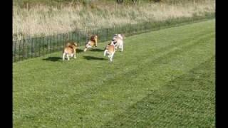 Racing Beagles (side View)