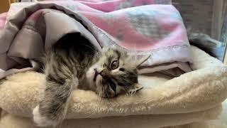 My 12 week old talking ragamuffin kitten