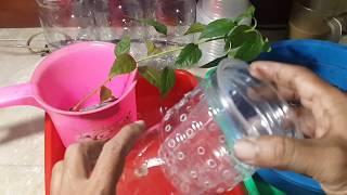 Membuat hidroponik kratky sistem tanpa sirkulasi dari botol bekas