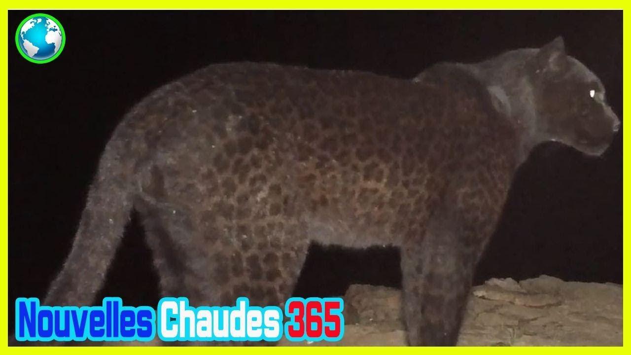 4045040096f Une panthère noire photographiée pour la première fois en Afrique depuis  plus d'un siècle