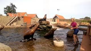 Годування морських котиків №3 у Dolfinarium в місті 3841AB Harderwijk в Nedrland