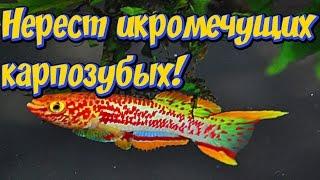 Нерест аквариумных рыбок Фундулопанхакс Гарднера! Нерест икромечущих карпозубых! Разведение рыбок!