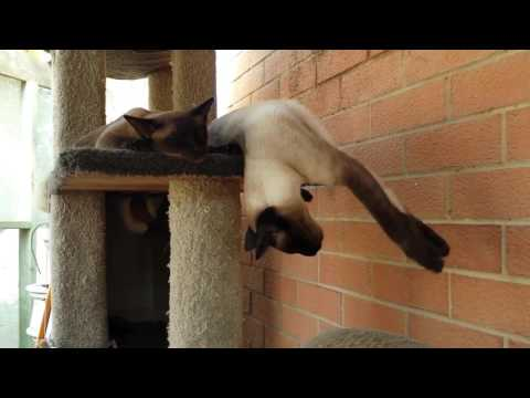 Viral Video UK: Siamese cat sleep walking