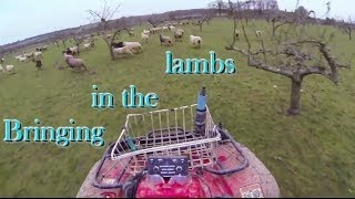 2013 12 03   Bringing the lambs in for worming vaccinations