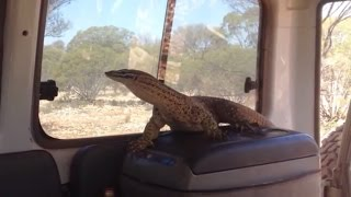 Goannas and Gold - Metal Detecting in Western Australia for Gold Nuggets in a Goanna Patch