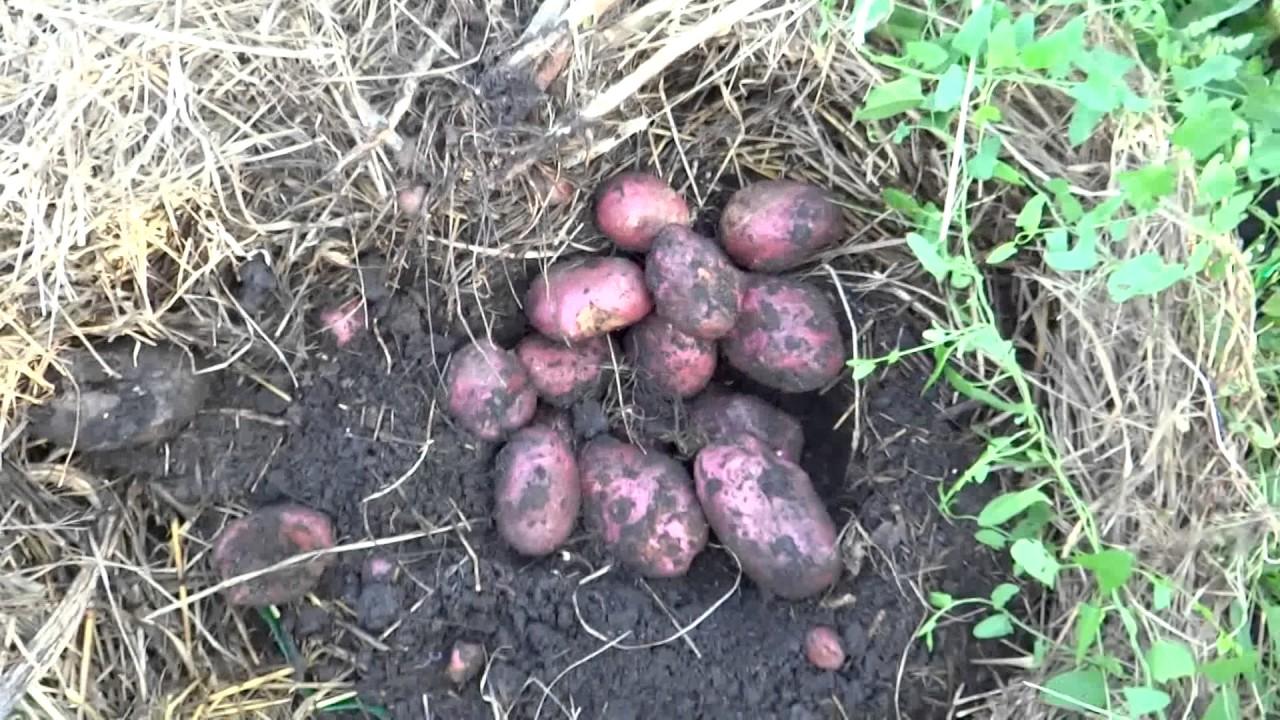 Картофель под соломой. Урожай.