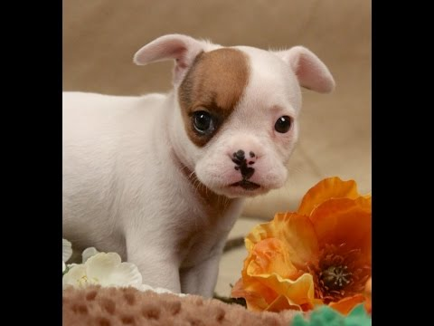 "Hybrid French Bulldog Designer Breed Royal Frenchel ""Posey"""
